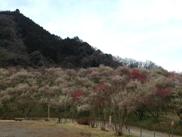 木下沢梅林_梅林8