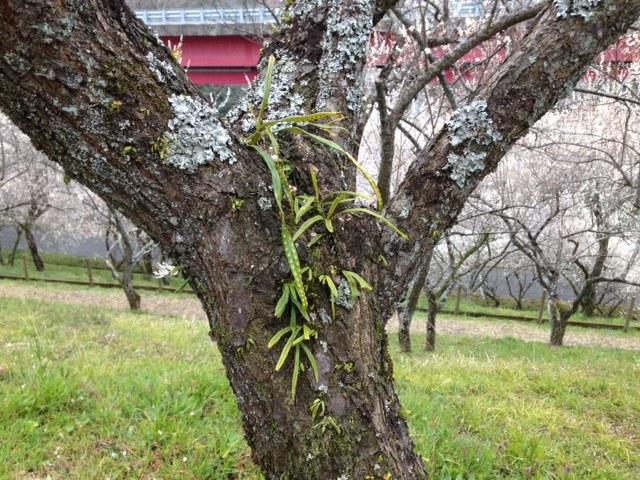 木下沢梅林_梅の木6