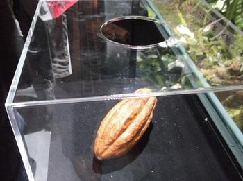 チョコレート展_カカオの実